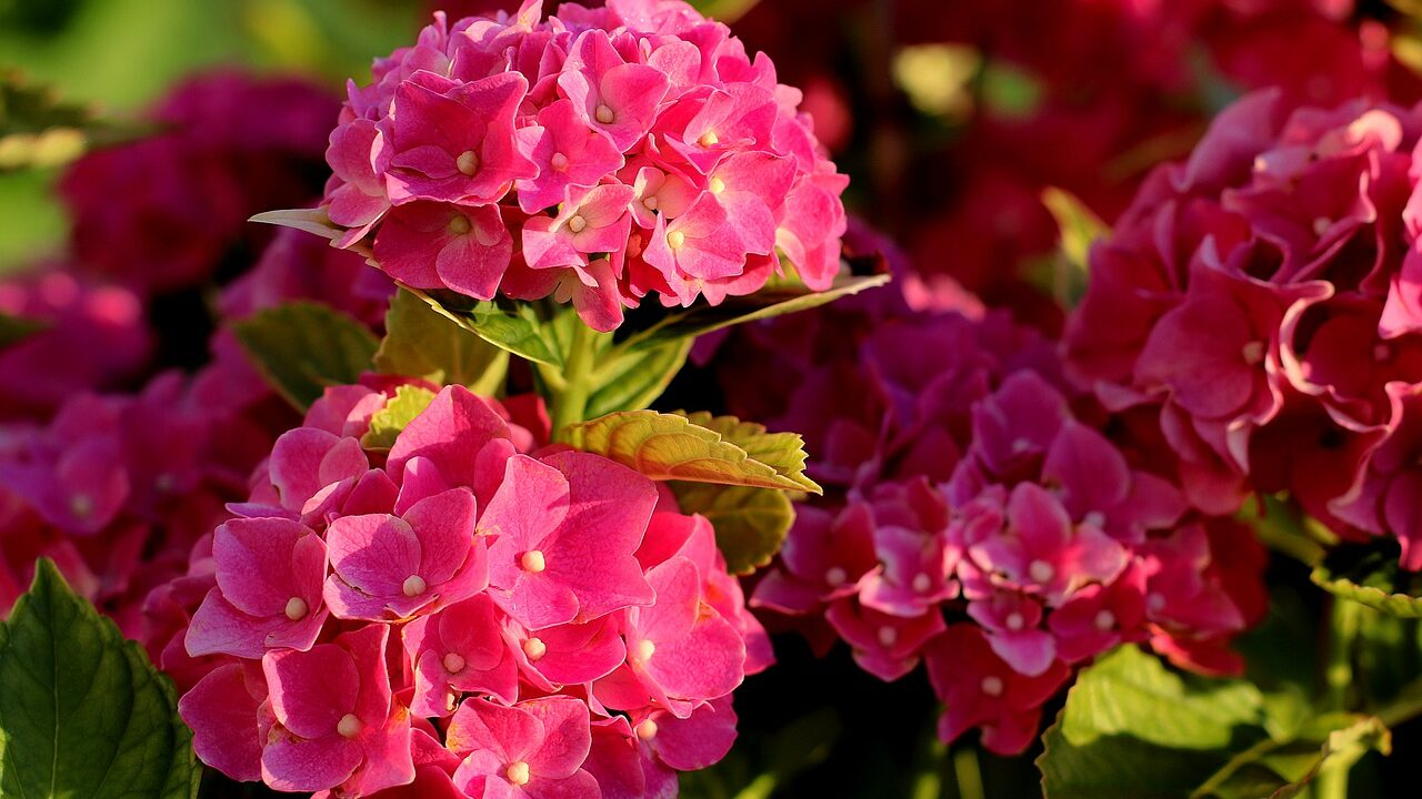 https://wfgc.co.uk/wp-content/uploads/2021/04/hydrangea-4372349_1280-1280x720.jpg